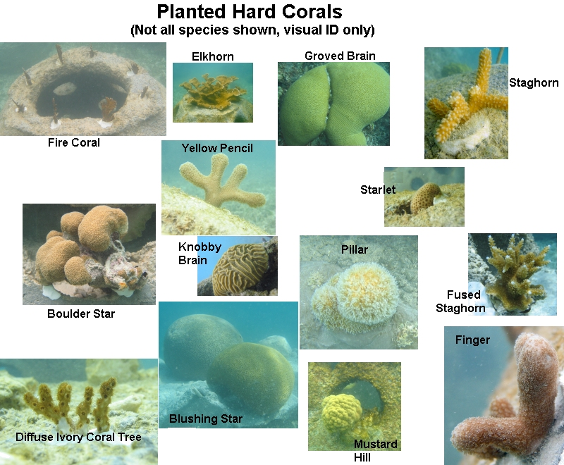 Enn affiliate news worlds largest coral reef restoration project click to enlarge photo showing range of hard coral species planted publicscrutiny Images